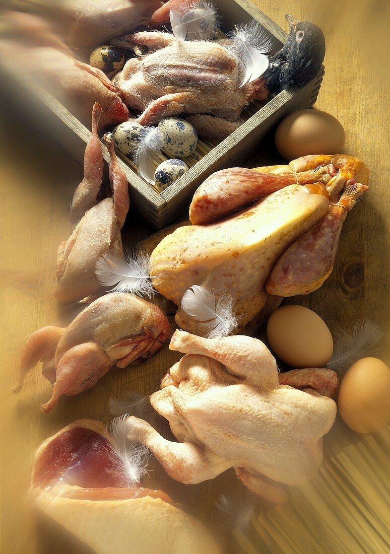 Chicks; Pigeons; Pheasant; Chicken: Still Life