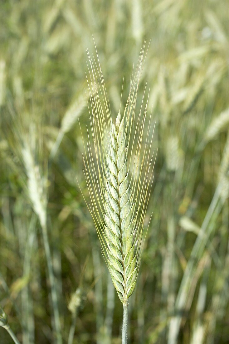 Ears of barley in the field