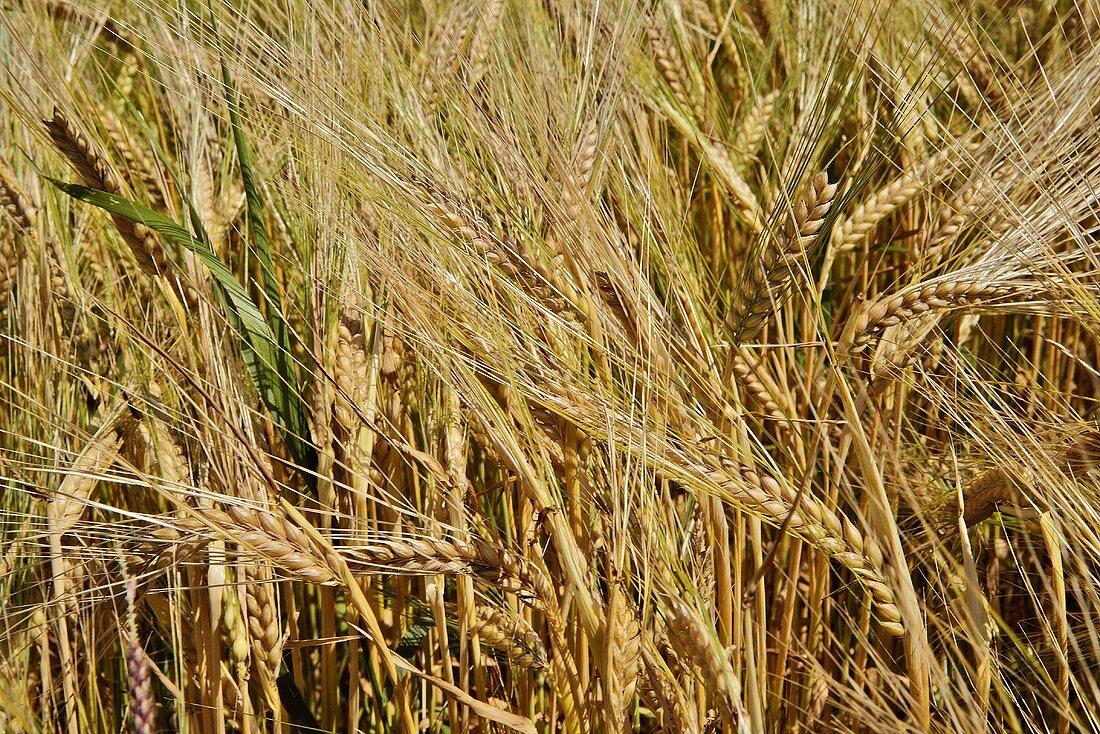 Barley ripening in the field