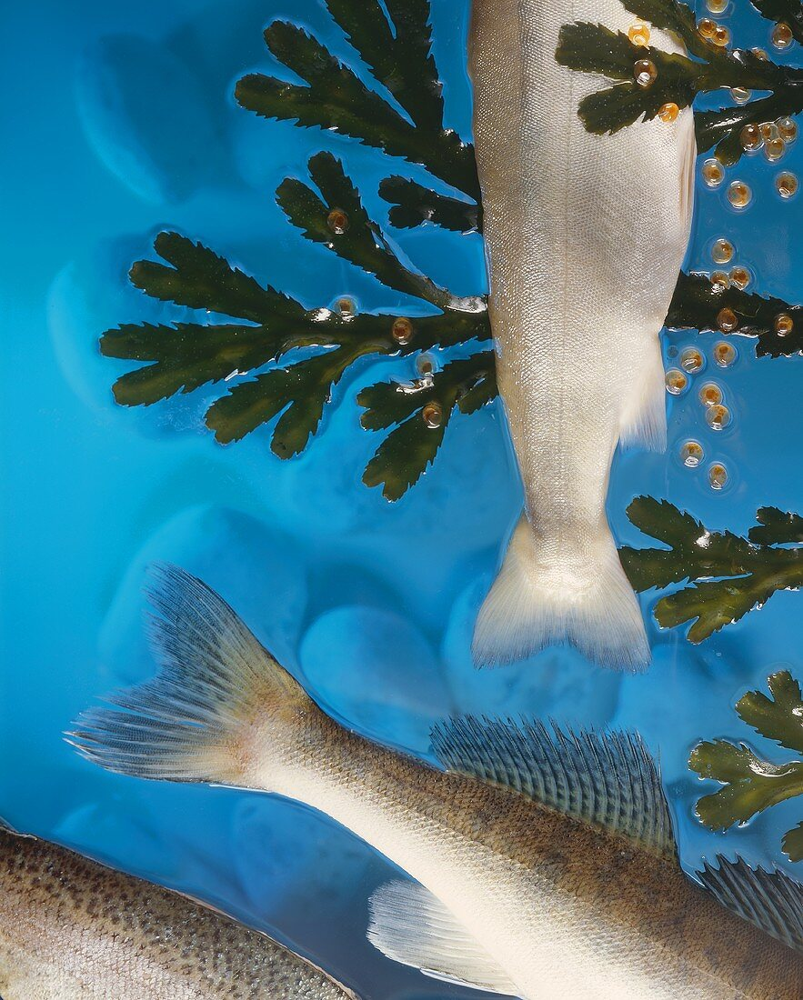 Sea fish tails on a blue background