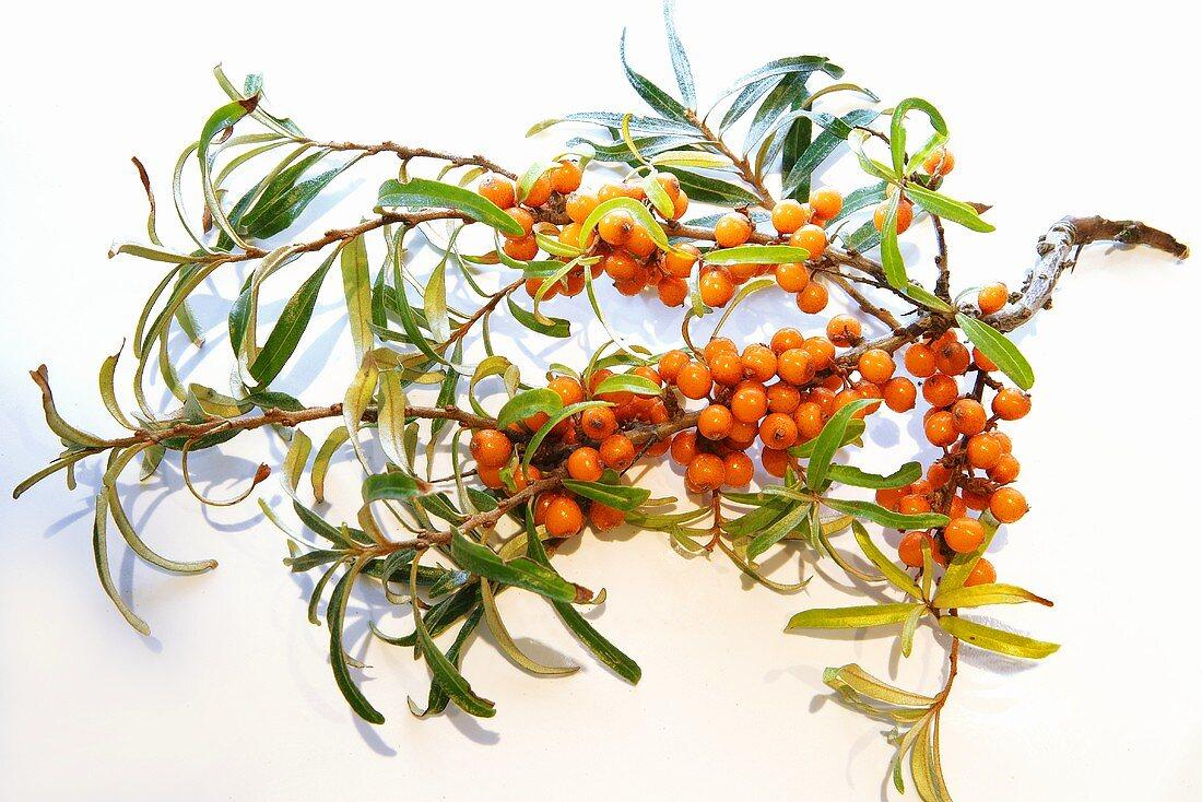 A sprig of buckthorn berries