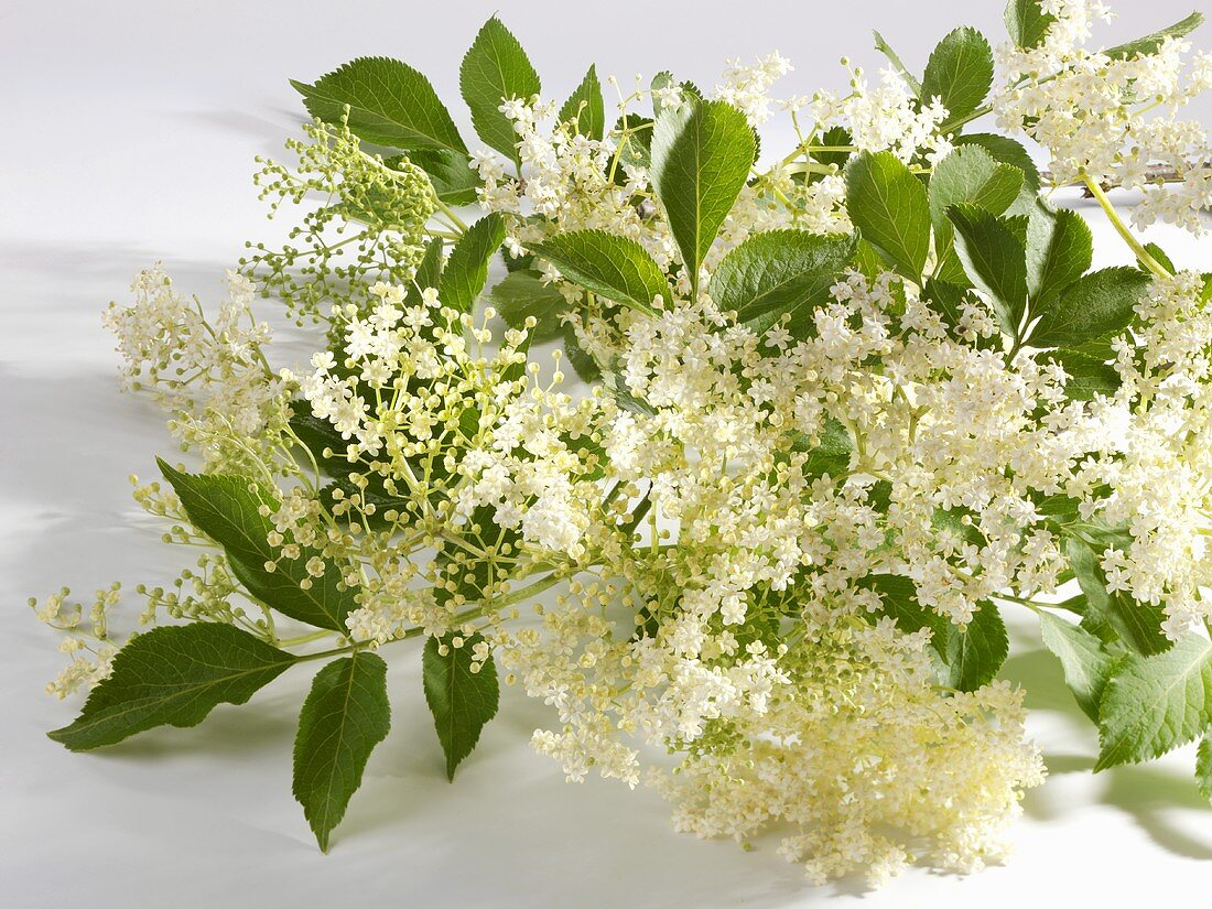 Branch of elderflowers