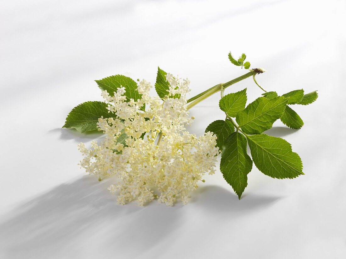 Elderflowers with leaves