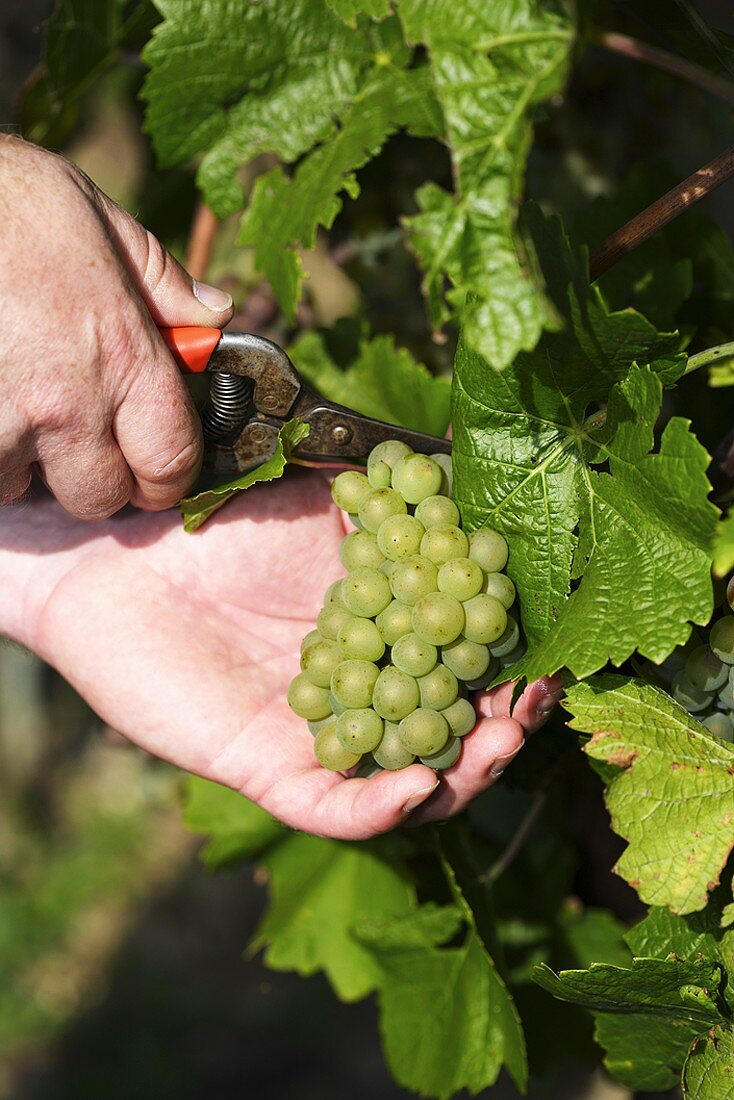 Cutting Weissburgunder grapes from the vine