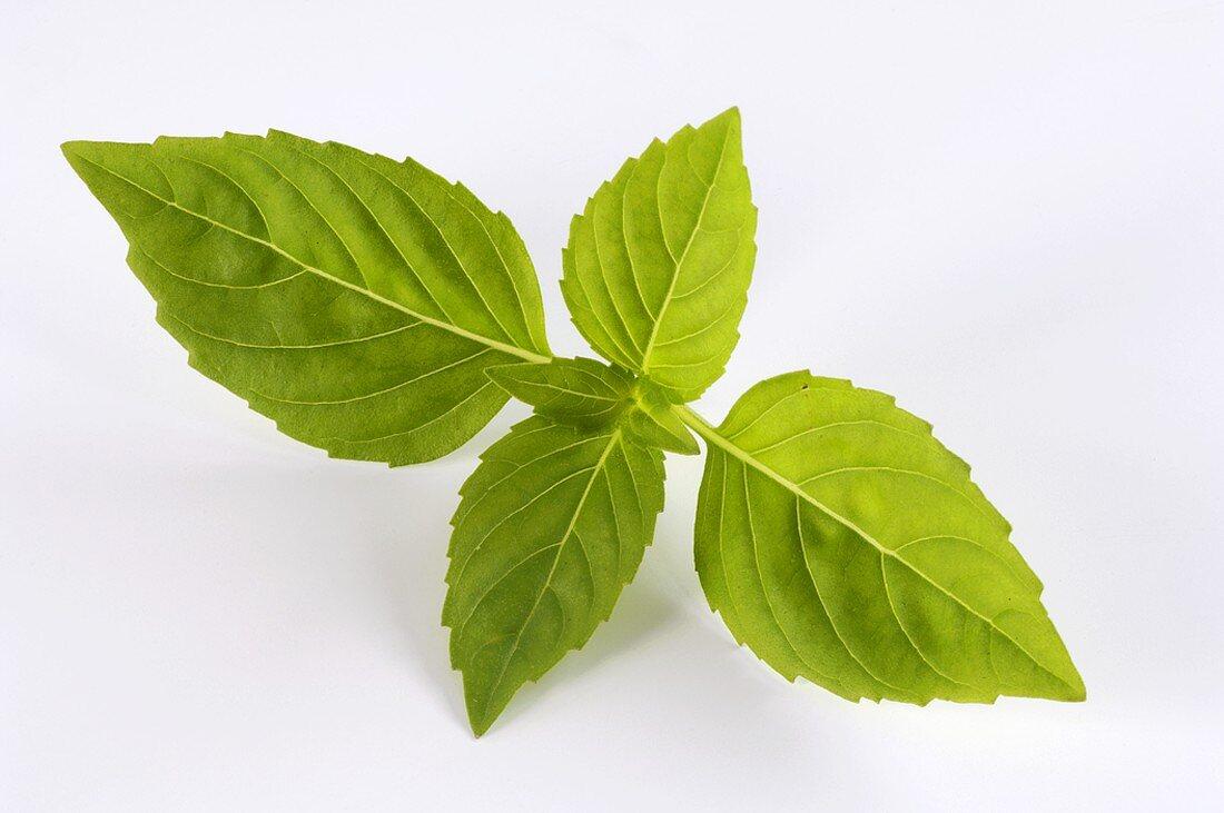 A sprig of cinnamon basil