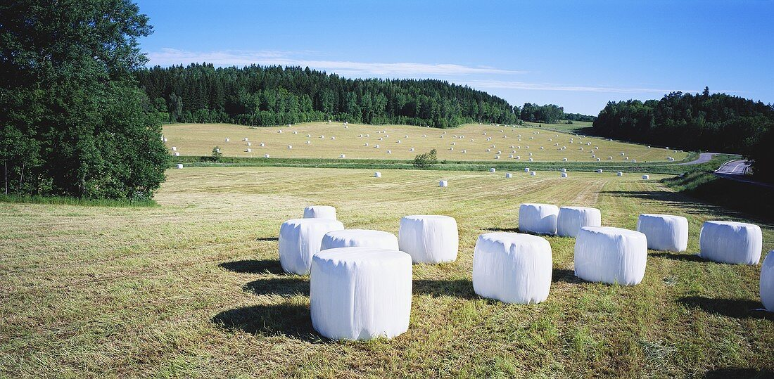 Round bales of silage in field