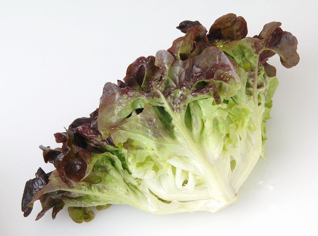 An oak leaf lettuce