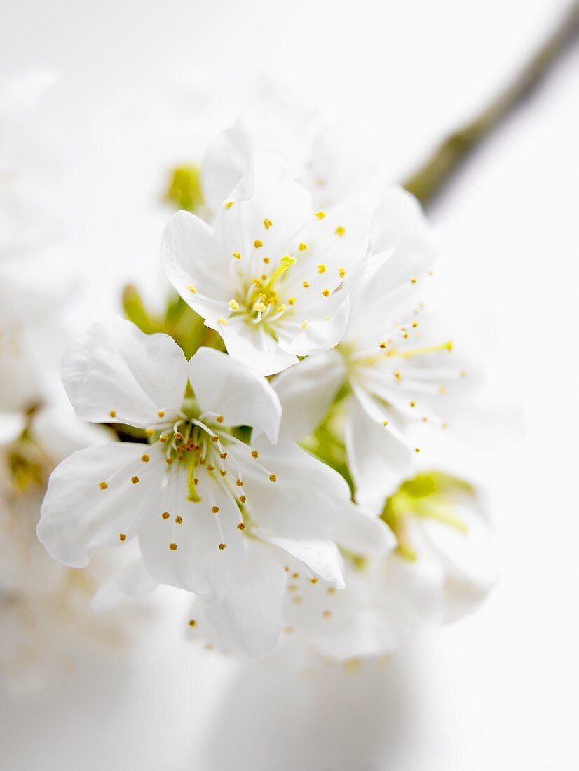 Cherry blossom branch (close-up)