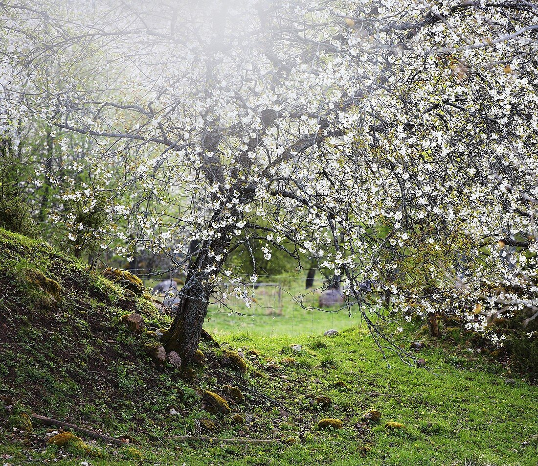 Blooming cherry trees in Sweden