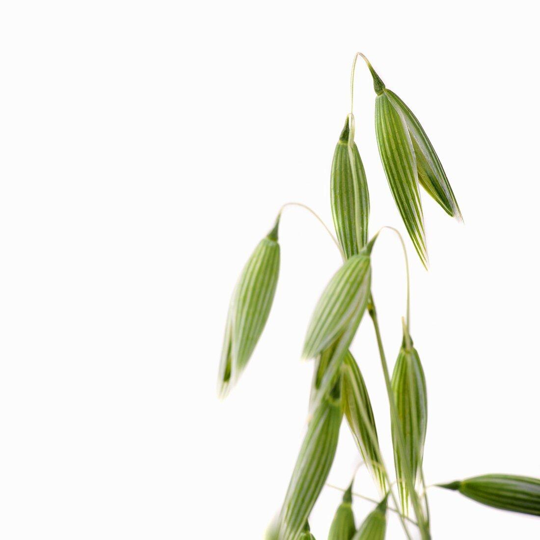 Ear of oats