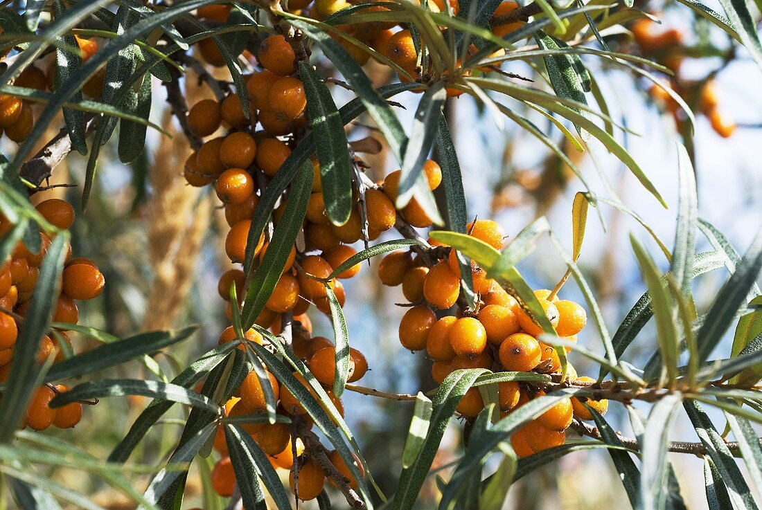 Sea buckthorn berries on the bush