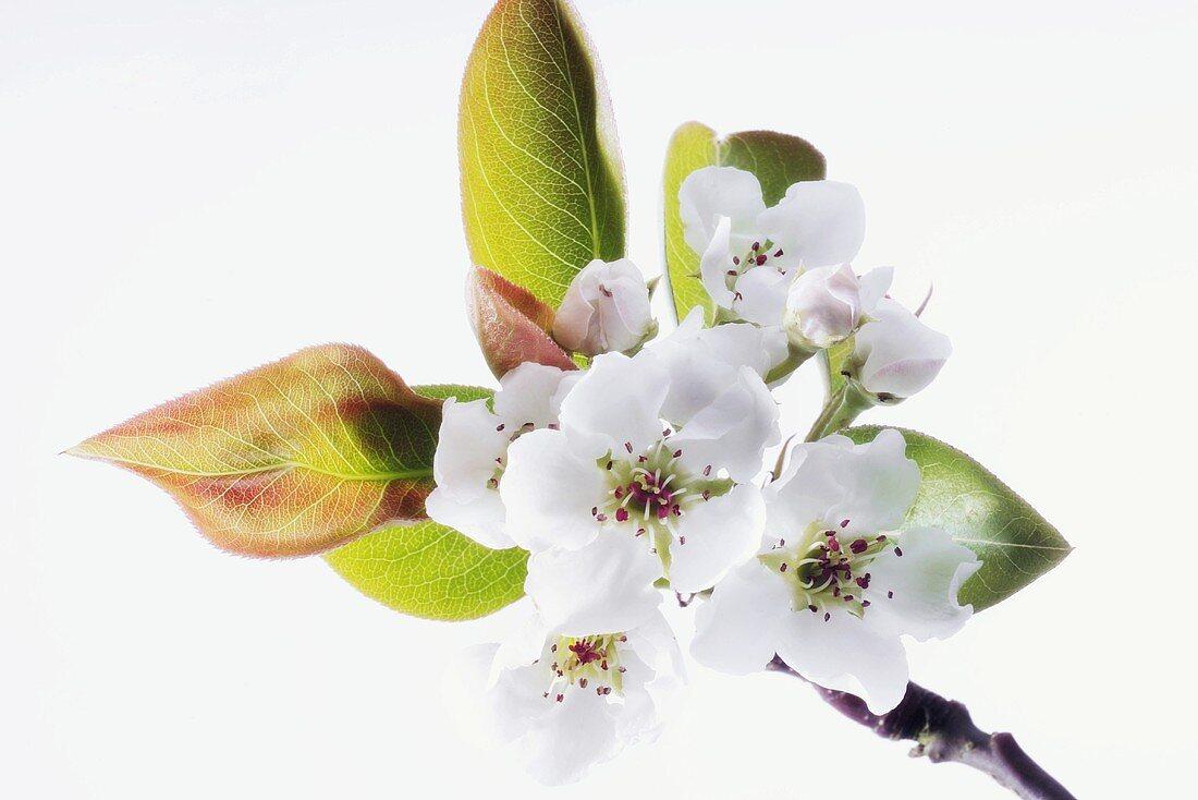 Pear blossom, close-up