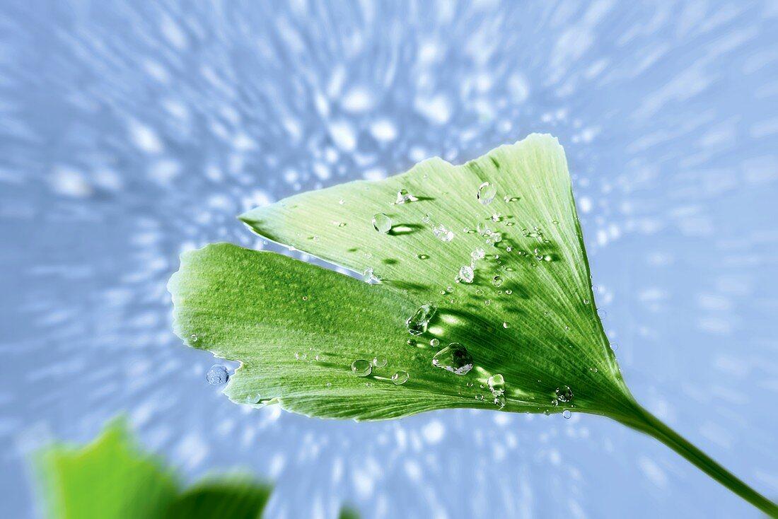 Ginkgo leaf with dewdrops