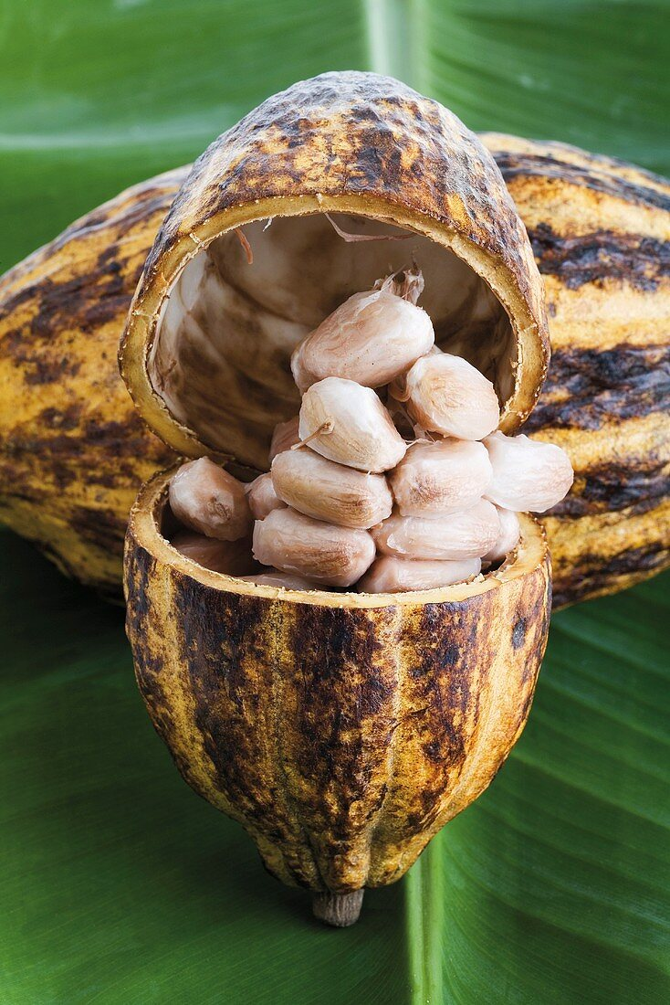 Cacao plant, husk and beans on leaf