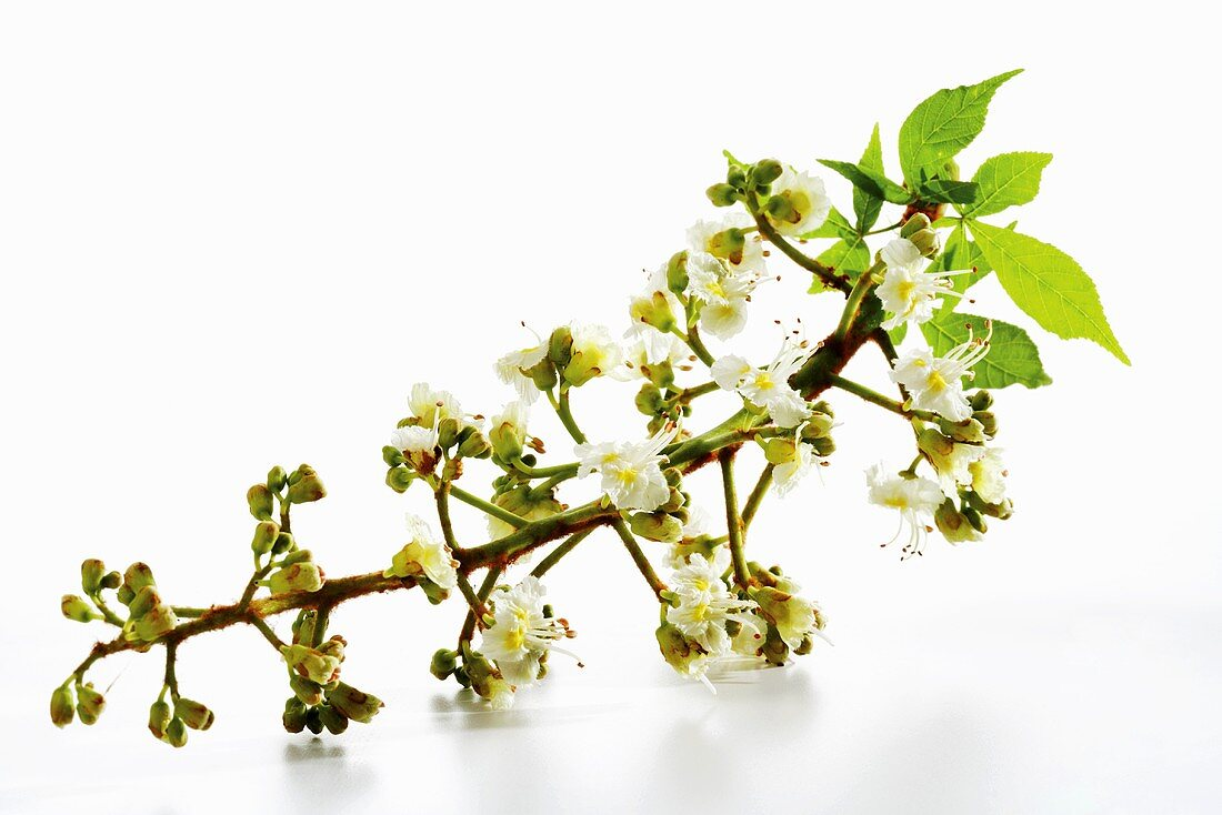 Chestnut flowers, close-up