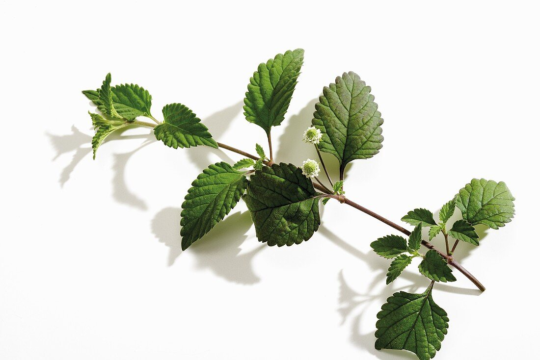 Aztec sweet herb (Lippia dulcis)