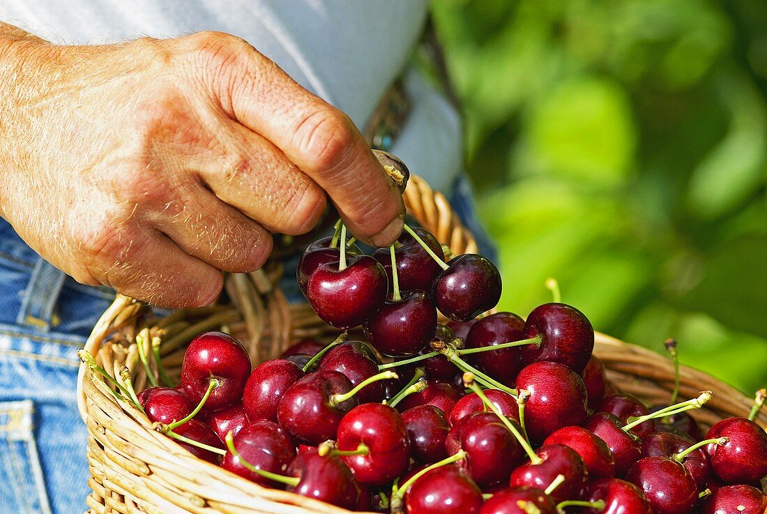 Cherry harvest, close up