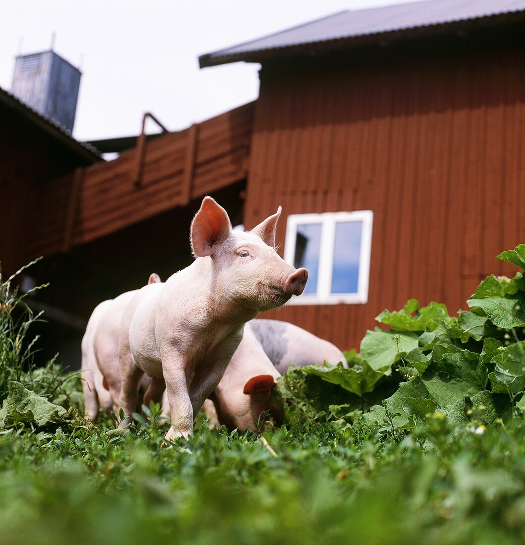 Piglets in a pasture