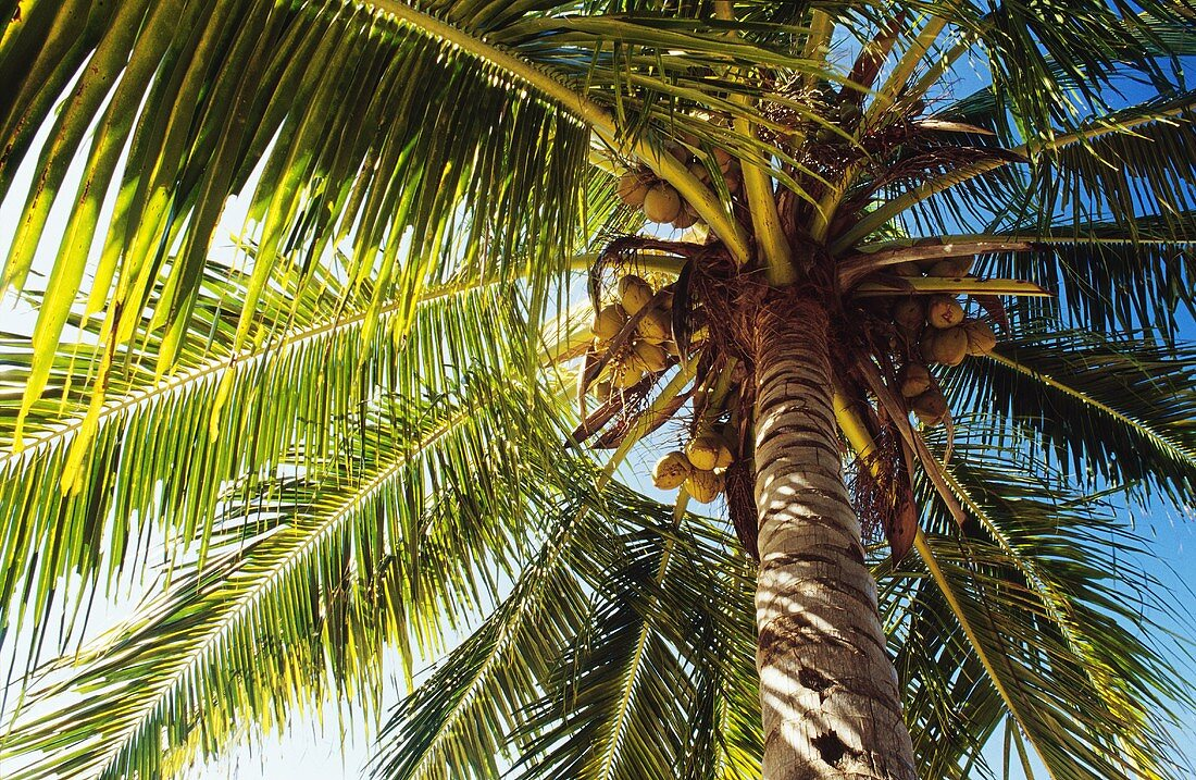 A palm tree from below