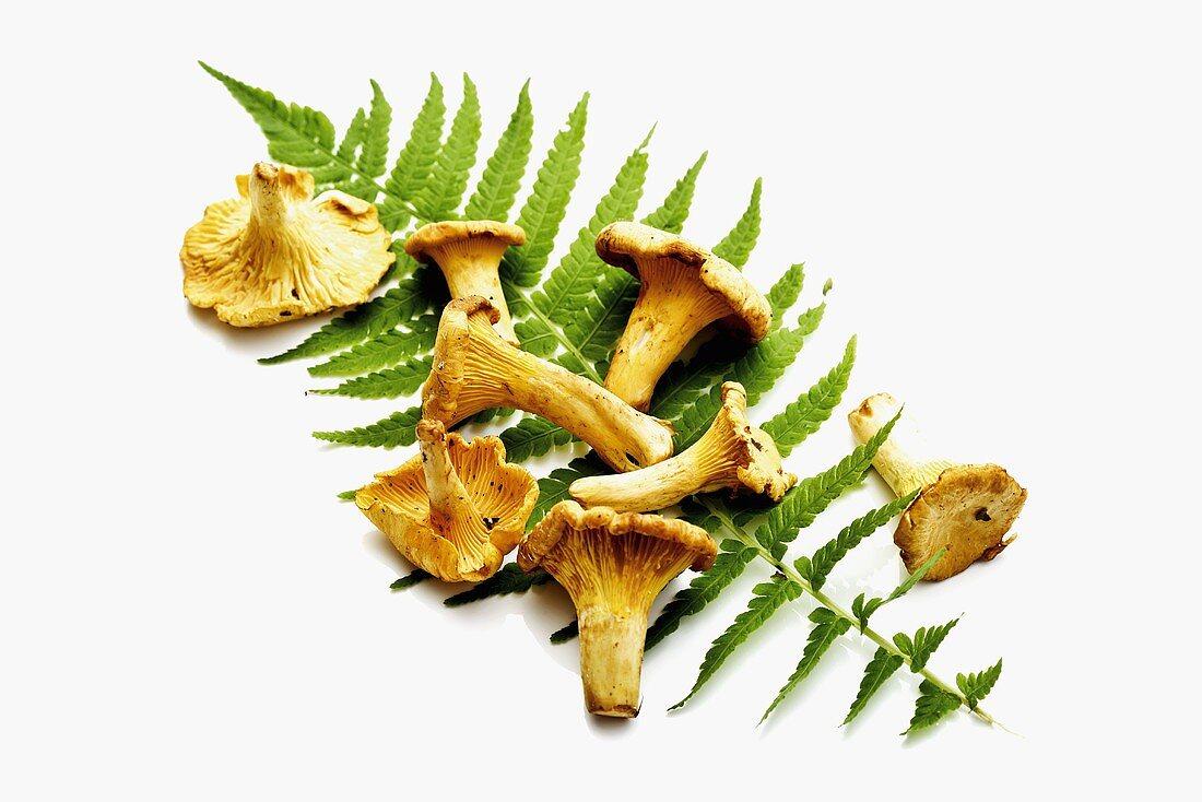 Chanterelles on a fern frond