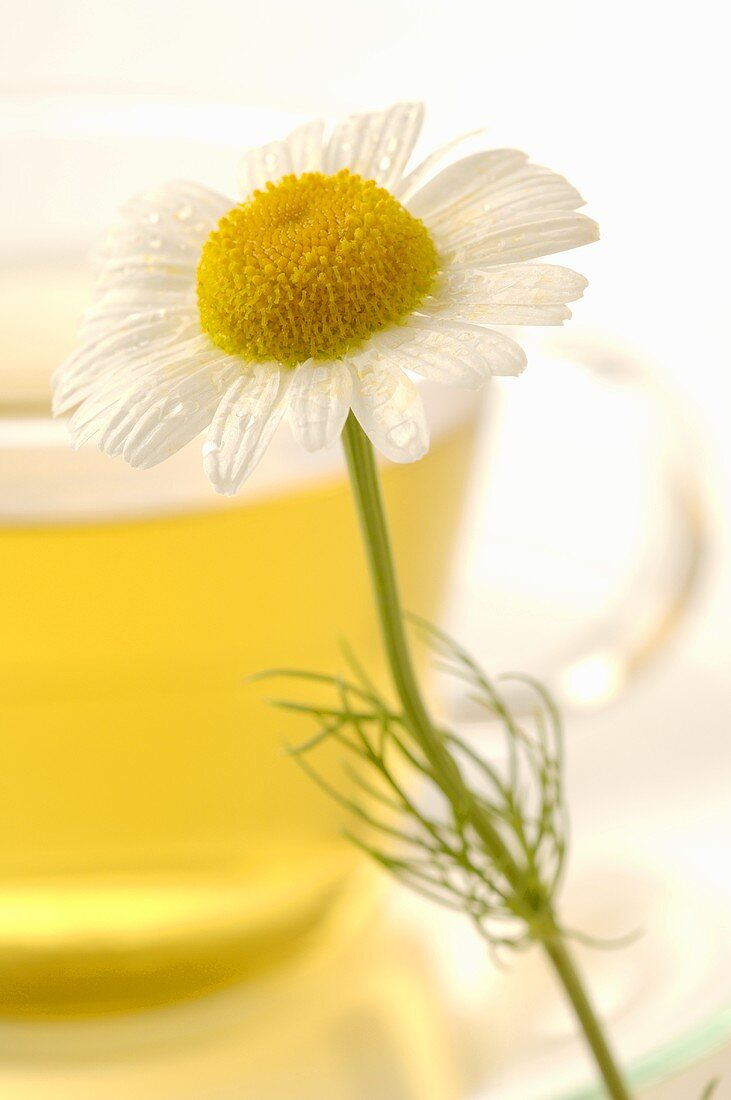 Chamomile flower in front of cup of chamomile tea