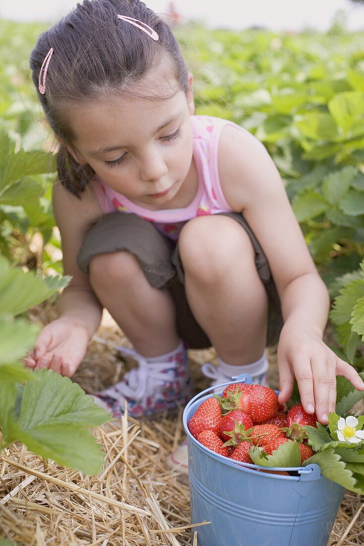 Little girl picking strawberries in strawberry field