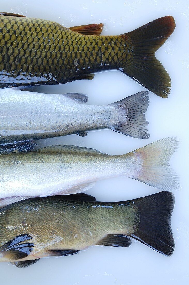 Tail fins of four different freshwater fish