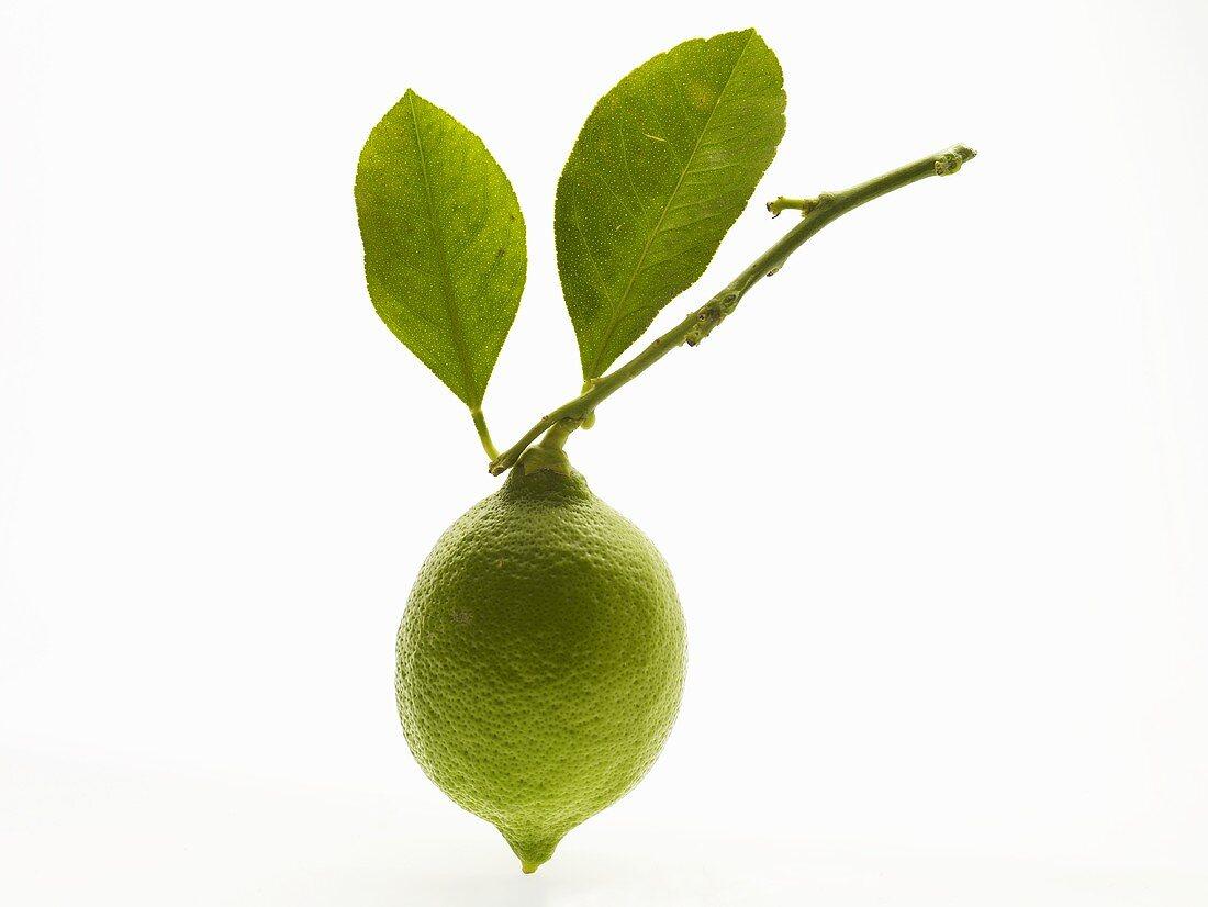 Unripe lemon on twig with leaves