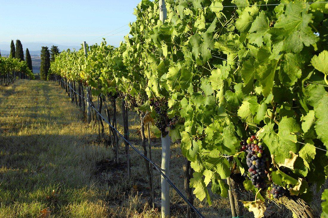 Merlot grapes on the vine, Villa Pillo Estate, Tuscany, Italy
