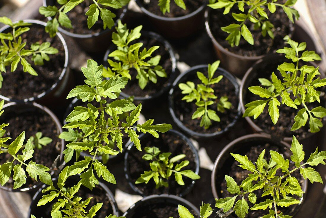Young tomato plants in pots