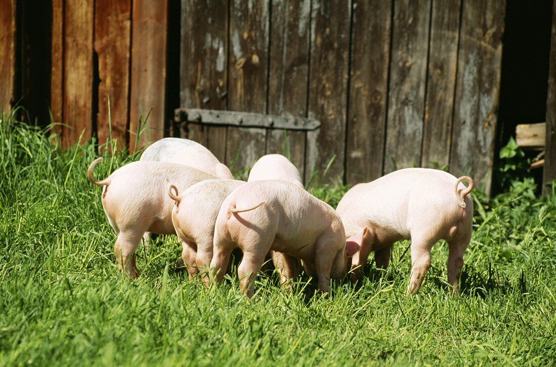 Pigs in a field in front of a barn