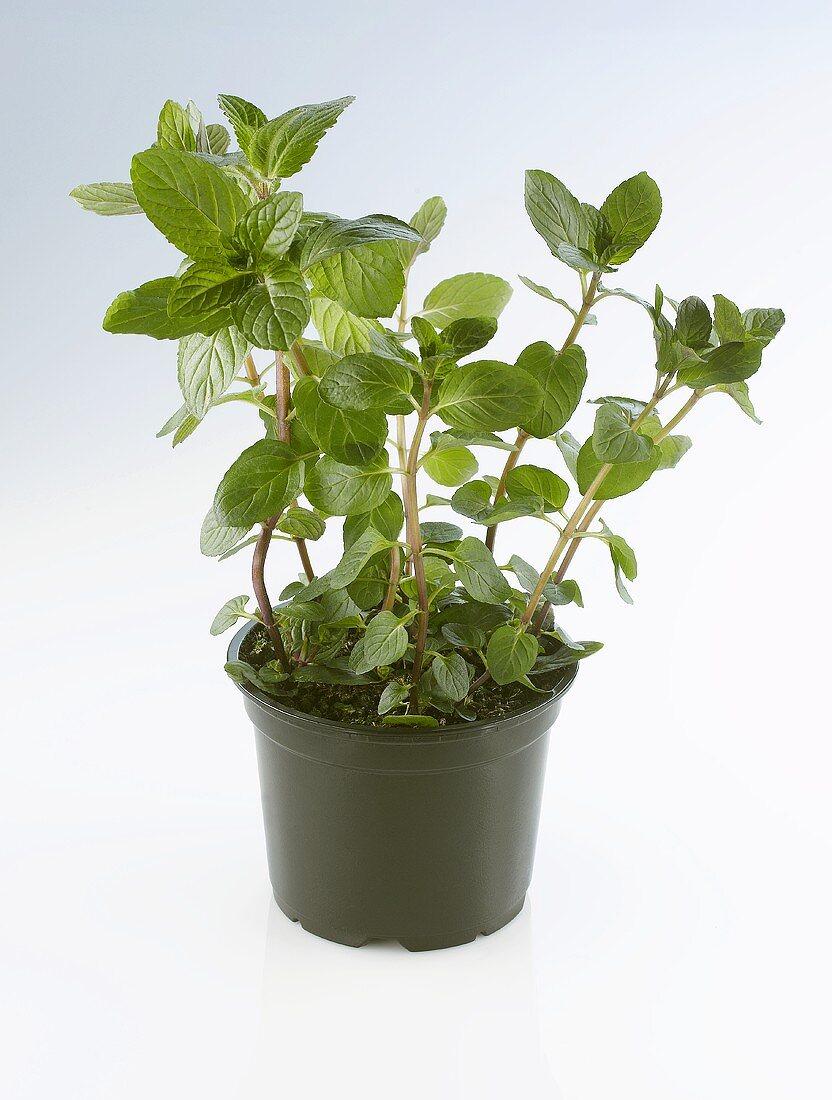 Chocolate mint in a pot