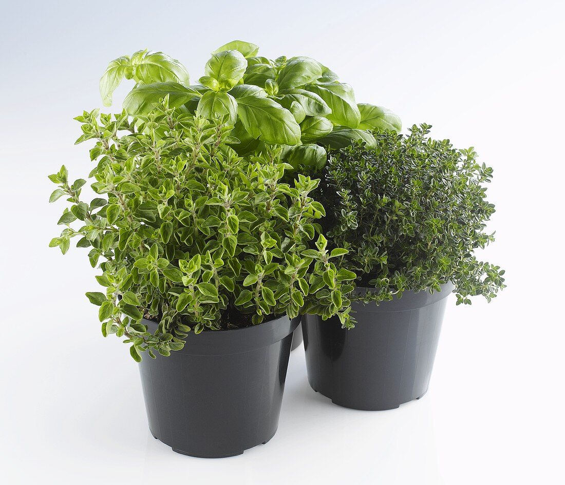 Thyme, oregano and basil in pots