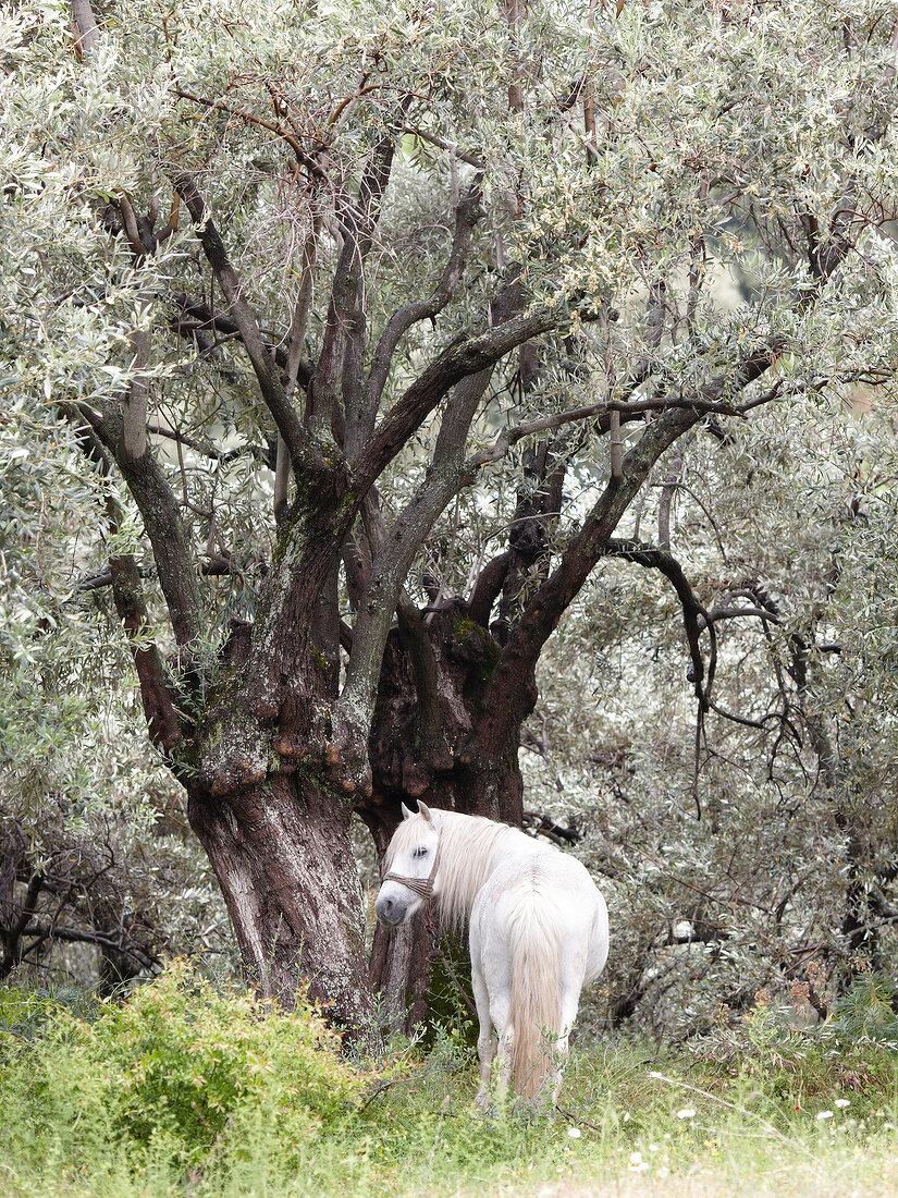 Weißes Pferd steht vor 1 Baum auf 1 Wiese, Pilion, Griechenland