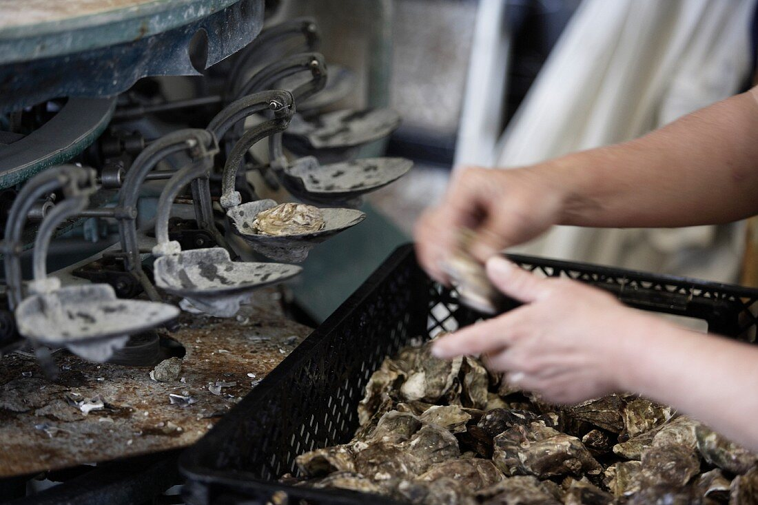 A person working at a calibration machine for oysters (Normandy, France)