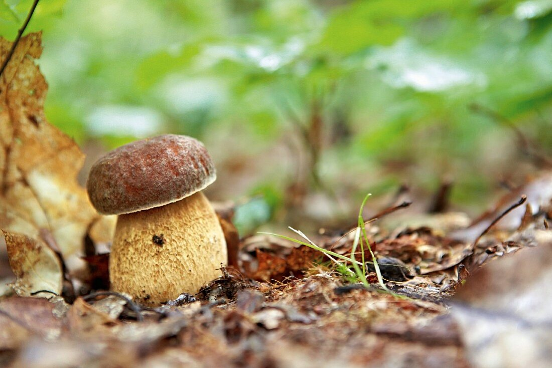A porcini mushroom in a forest
