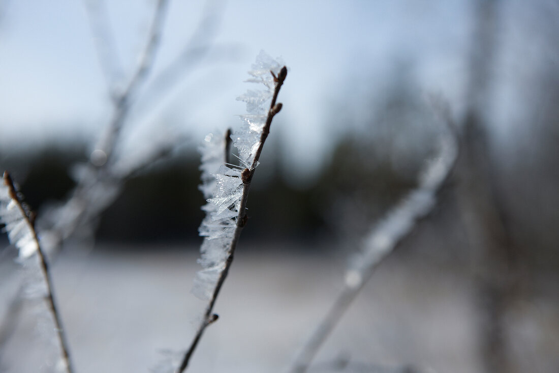 Close-up of frozen grasses in Lapland, Finland