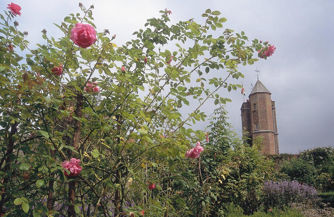 Pink roses on plant at Sissinghurst Castle Garden, Sissinghurst Castlein background, UK