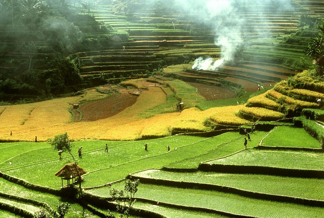 Rice terraces with field workers
