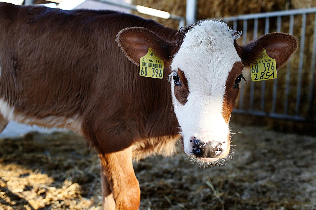 A calf wearing ear tags in a barn