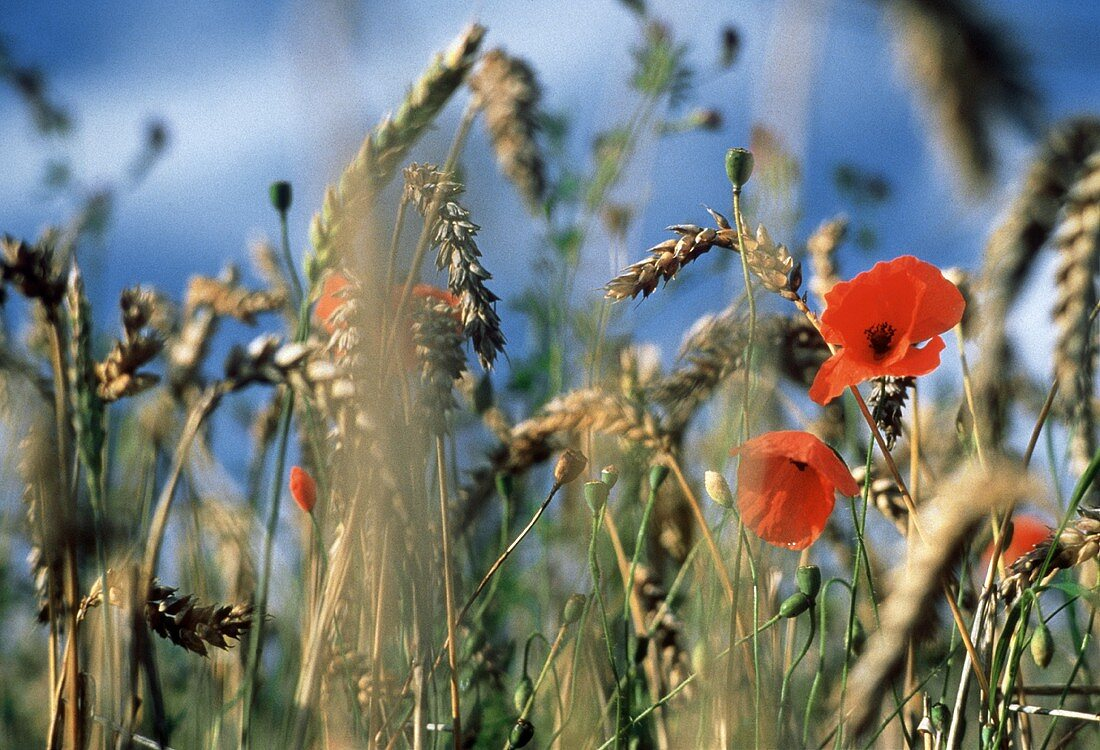 Wheat Field with Field Poppy