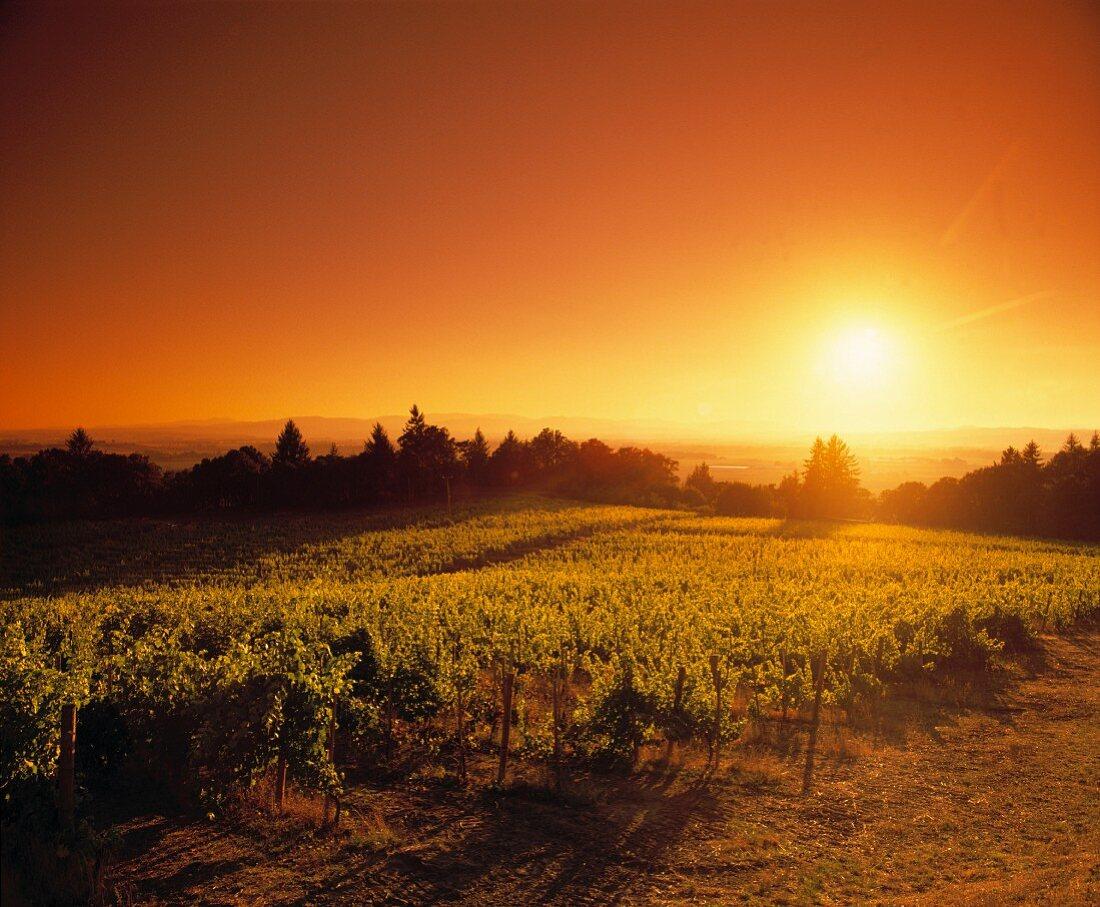 Abendsonne über Weinberg von Amity, Willamette, Oregon, USA