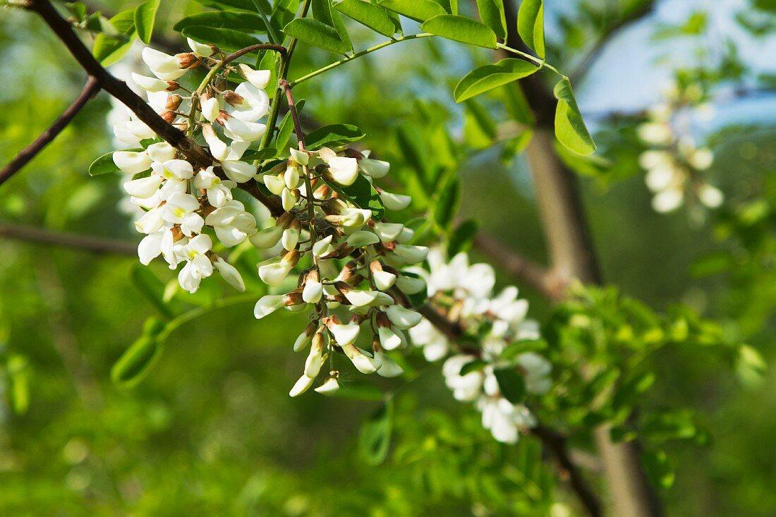 Akazienblüten am Baum