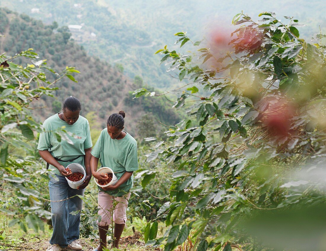 Female Coffee Workers Inspecting Beans