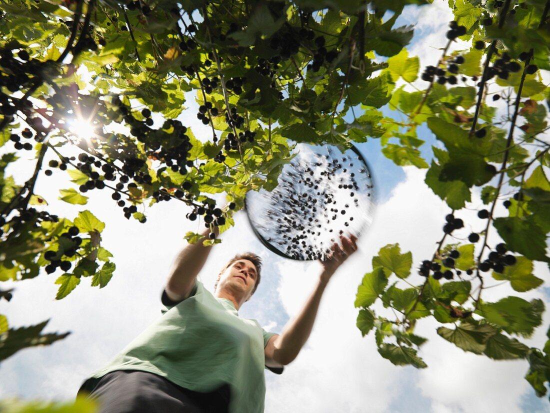 Man Harvesting Blackcurrants