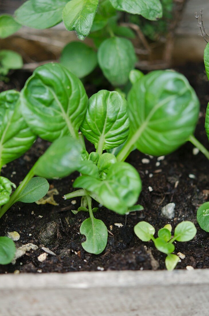 Young tatsoi plants in a seedling box