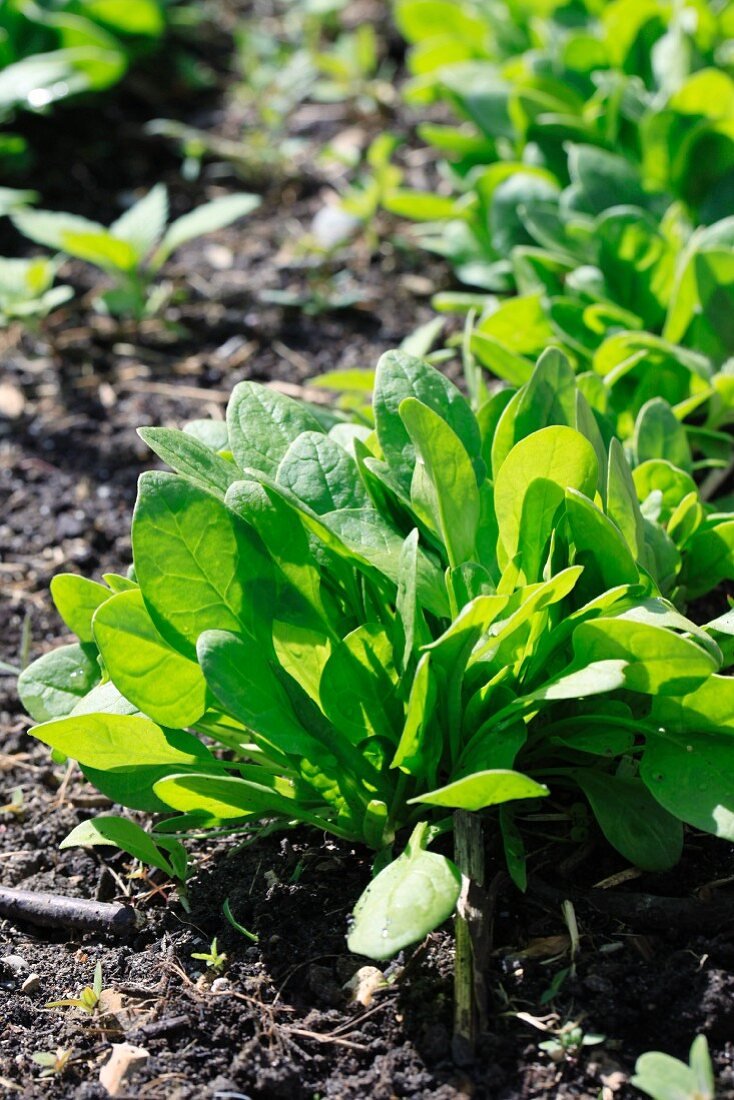 Fresh spinach in a vegetable bed
