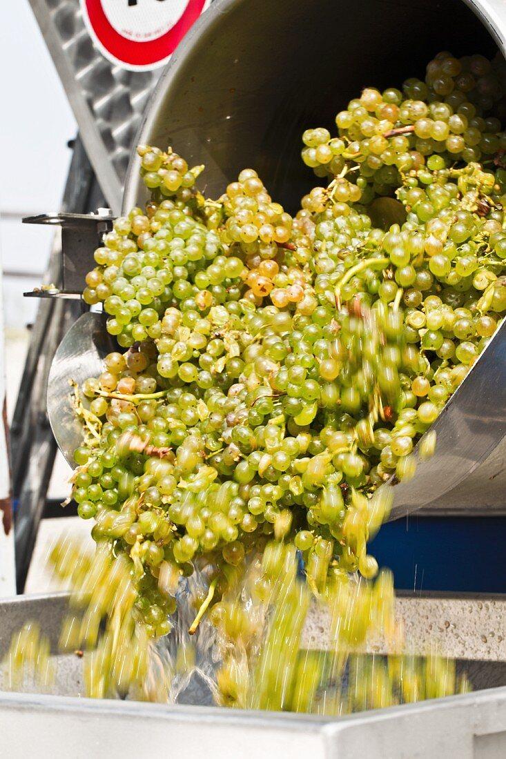Green Pignoletto grapes being shaken into a destemming machine