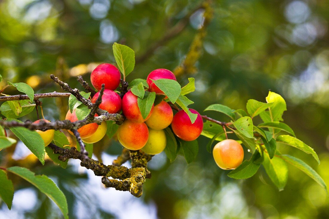 Wild plums on a tree