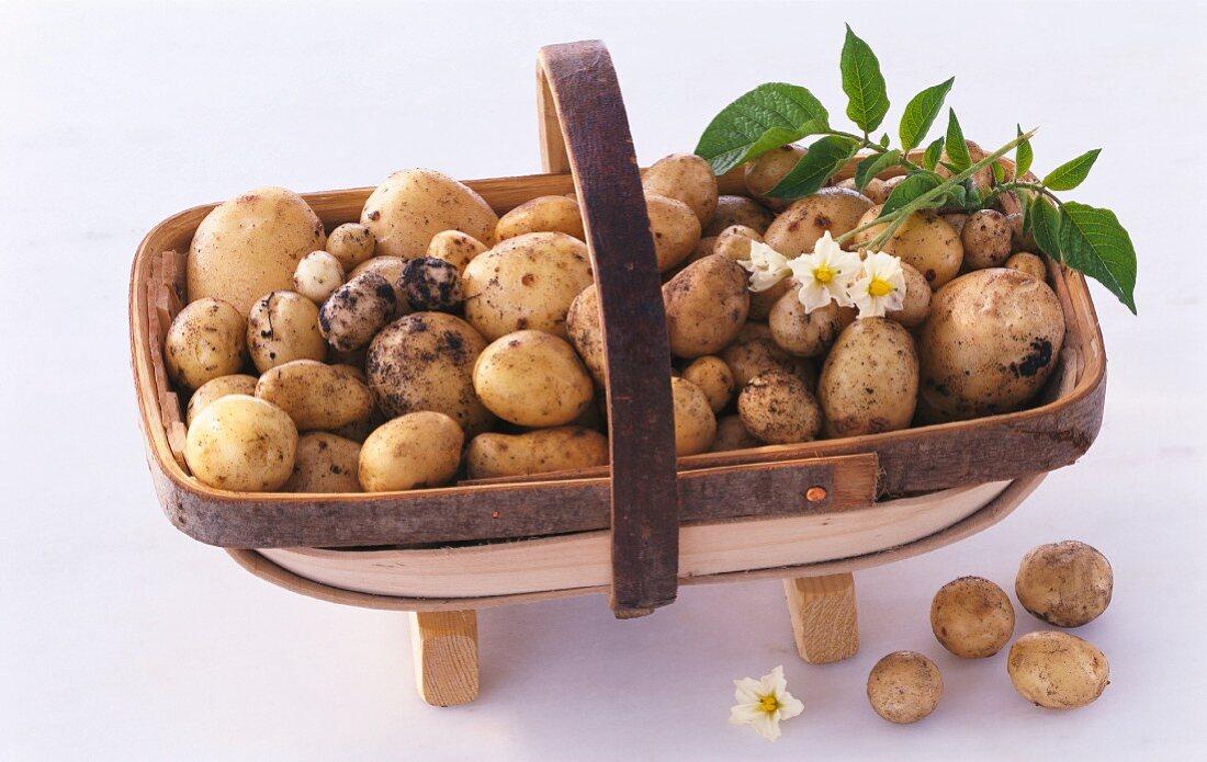 A basket of new potatoes (cultivar: Home Guard)